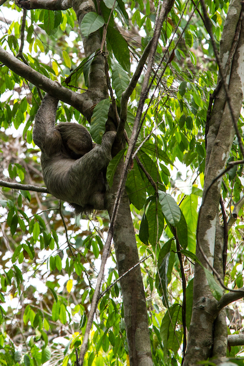 Costa Rica - Manuel Antonio - Sloth
